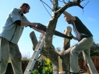 Cutting back the Reading Priory apple tree
